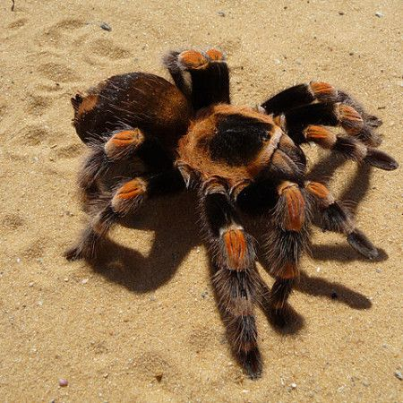 Mexican Red Knee Tarantula For Sale at Voracious Reptiles ...
