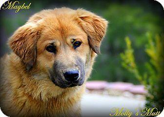 Maybel Golden Retriever Shepherd Mix 2 Yrs Old Female