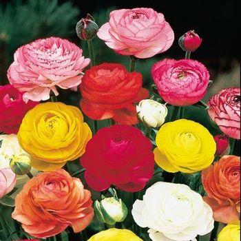 Ranunculus Mix Buttercup Flower Bulb Flowers Rose Like Flowers