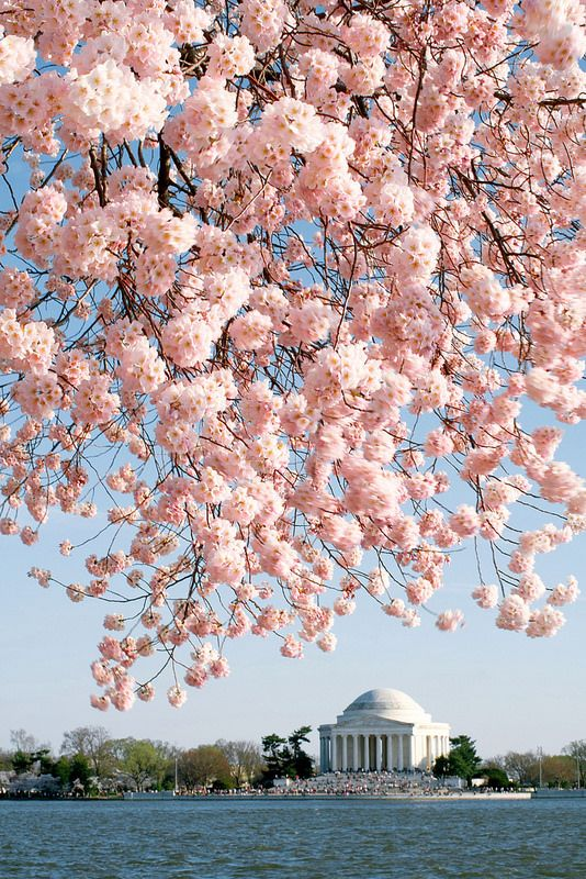 Washington Cherry Blossoms Blossom Trees Jefferson Memorial