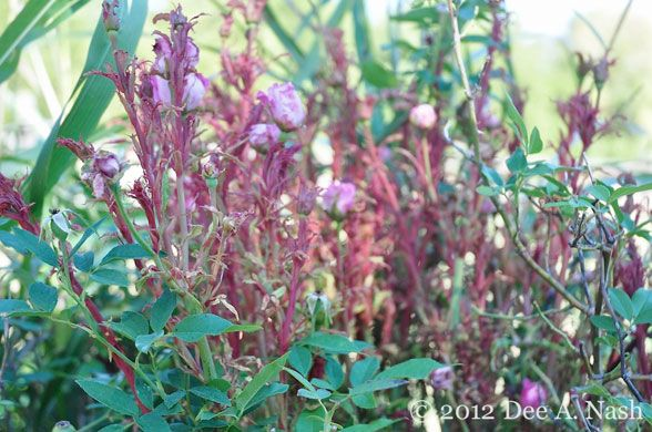 How To Identify And Prevent Rose Rosette Disease With Images