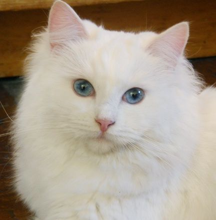 Beautiful Odd Eyed Cat Bubu Love Meow Different Colored Eyes Animals Cats