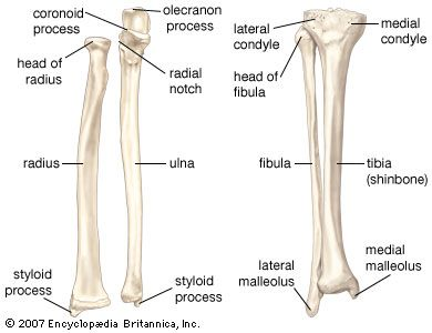 labeled diagram of the ulna leg: muscles of human leg; posterior view | encyclopedia ... #6