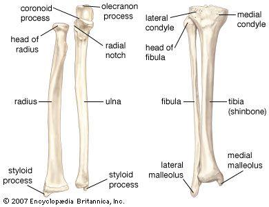 Tibia And Fibula Blank Diagram Isuzu Kb Radio Wiring Radius 9 26 Kenmo Lp De Bone Pinterest Anatomy Arm Bones Rh Com Label