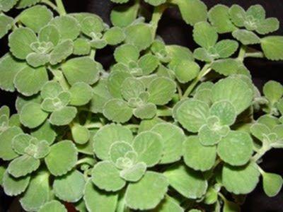 DTL Herbs LTD: Herb of the Week -- Cuban Oregano