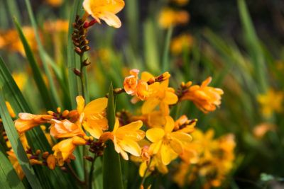 Trouble With Freesia Plants Learn About Freesia Diseases And Pests Garden Pests Slugs In Garden Garden Pests Identification