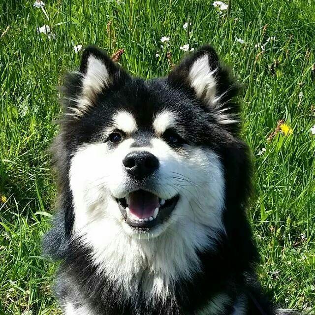 Pin Van Ron Vasse Op Finnish Lapphund