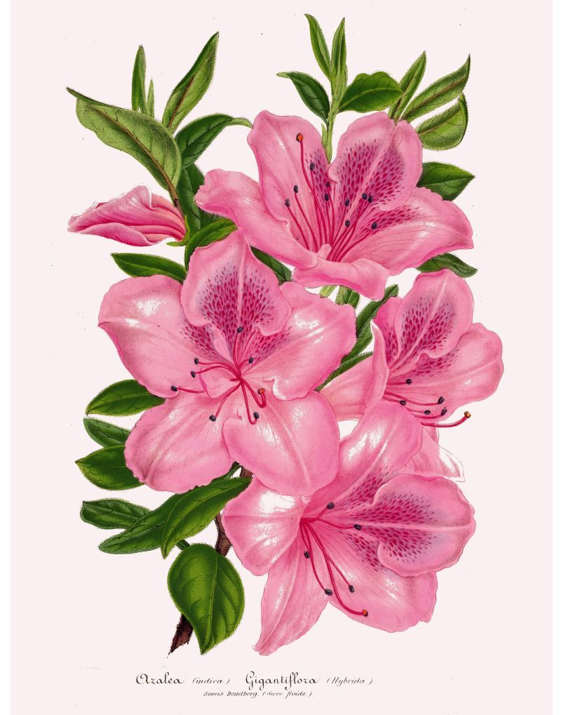 Antique French Victorian Botanical Print Azalea Pink Flowers Etsy Bunch Of Flowers Drawing Flower Illustration Flower Drawing