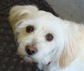 Adopt Sam On Dog Friends Little Dogs Dogs