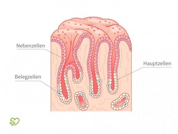 Der Magen Magenschleimhaut: Nebenzellen, Hauptzellen, Belegzellen ...