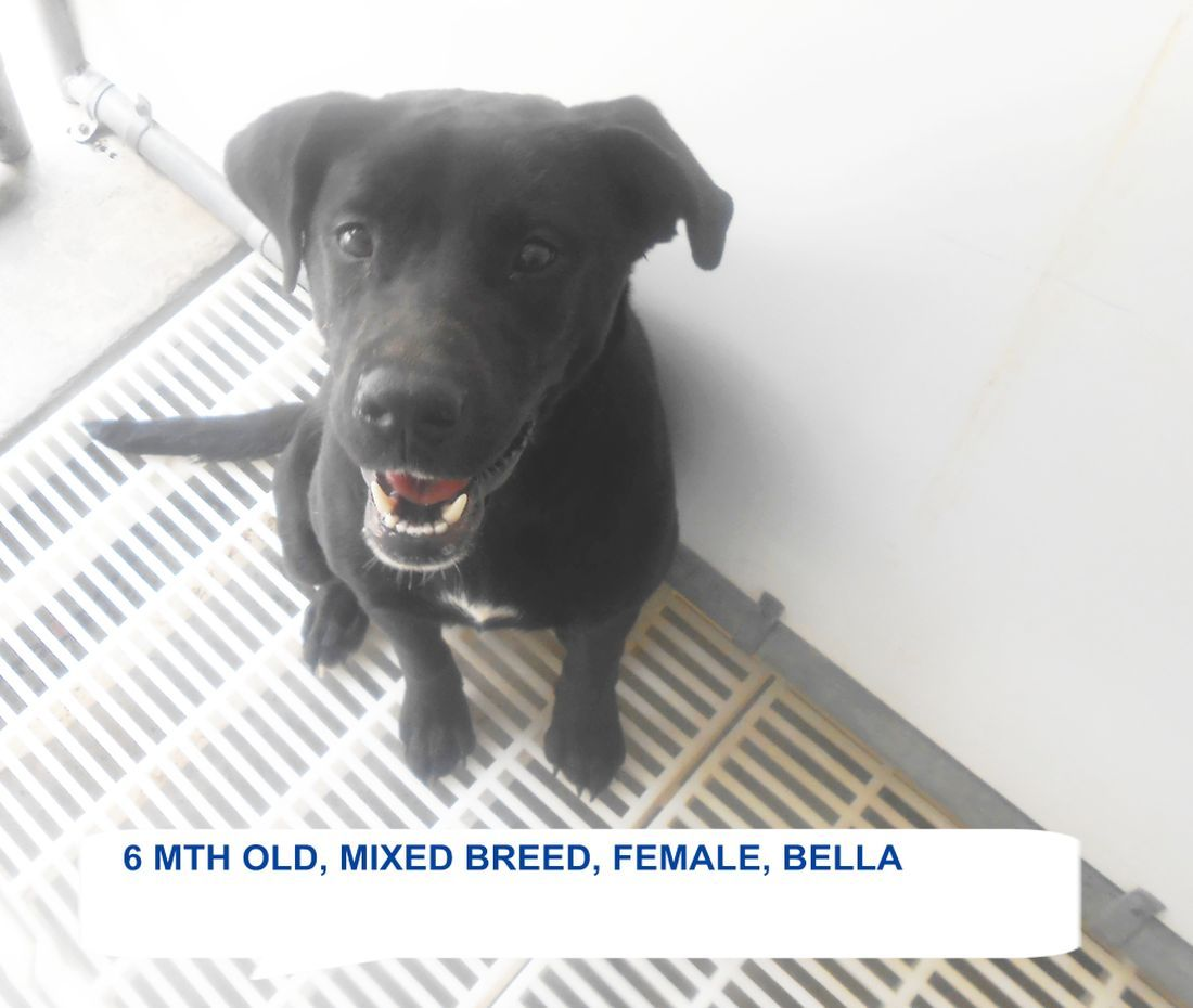 ***SUPER SUPER URGENT!!!*** - PLEASE SAVE BELLA!! - EU DATE: 6/27/2015 -- Bella Breed:Labrador Retriever (mix breed) Age: Young adult Gender: Female Size: Small Special needs: hasShots, Location: Elizabethtown, NC Read more at http://www.dogsindanger.com/dog/1435010147164#diXWcuTruGMzYRLQ.99 - About Bella: Bella is a pretty black lab mix girl who needs to be someone's special dog. The shelter is FULL, Please don't leave her there. . Call Silvia and Debbie now,,,,,Silvia is 910-876-0539