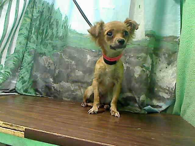SAFE --- #A439257 (Moreno Valley, CA) female, tan and white Chihuahua - Long Haired mix. The shelter thinks I am about 1 year. I have been at the shelter since Aug 18, 2014 and I may be available for adoption on Aug 25, 2014 at 10:50AM  ... City of Moreno Valley Animal Control Services. https://www.facebook.com/135559229932205/photos/a.136024659885662.29277.135559229932205/346741788813947/?type=3&theater
