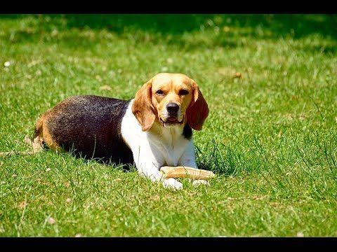 Beagle House Training Free Mini Course Training Your Dog