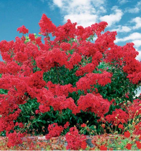 Lilas des indes dynamite jacques briant plante en ligne for Briant plantes