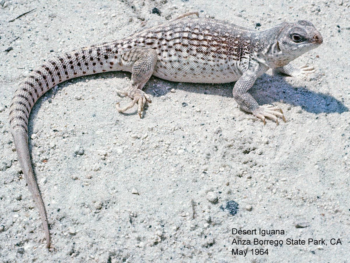 Desert Iguana Dipsosaurus Dorsalis Small Iguana 16