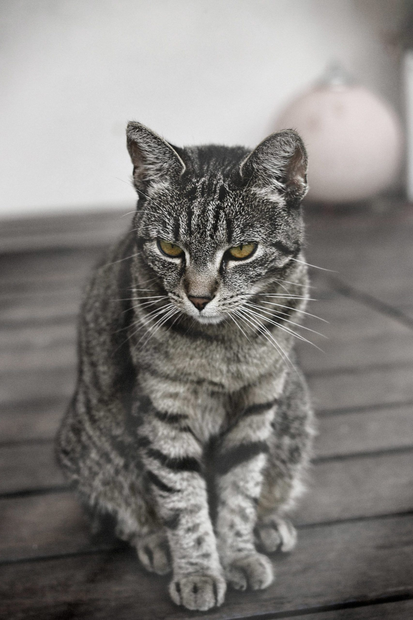 30+ Awesome Gray Bengal Cat Pictures Life Criters, 2020