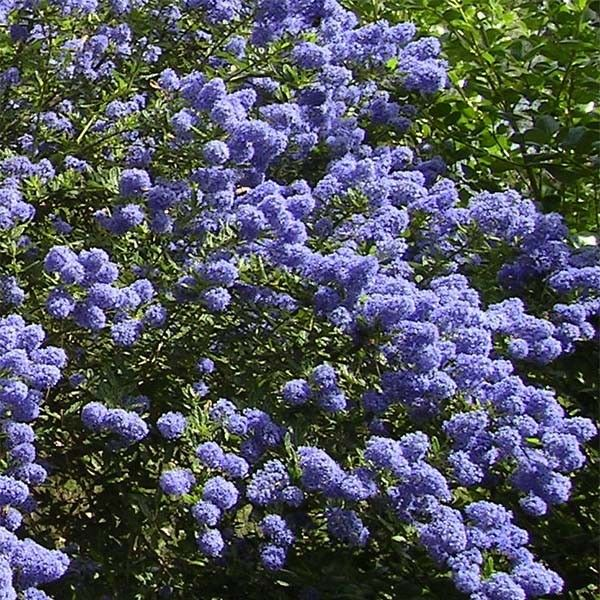 ceanothus thyrsiflorus repens lilas de californie arbuste donnant d 39 abondantes fleurs bleu. Black Bedroom Furniture Sets. Home Design Ideas