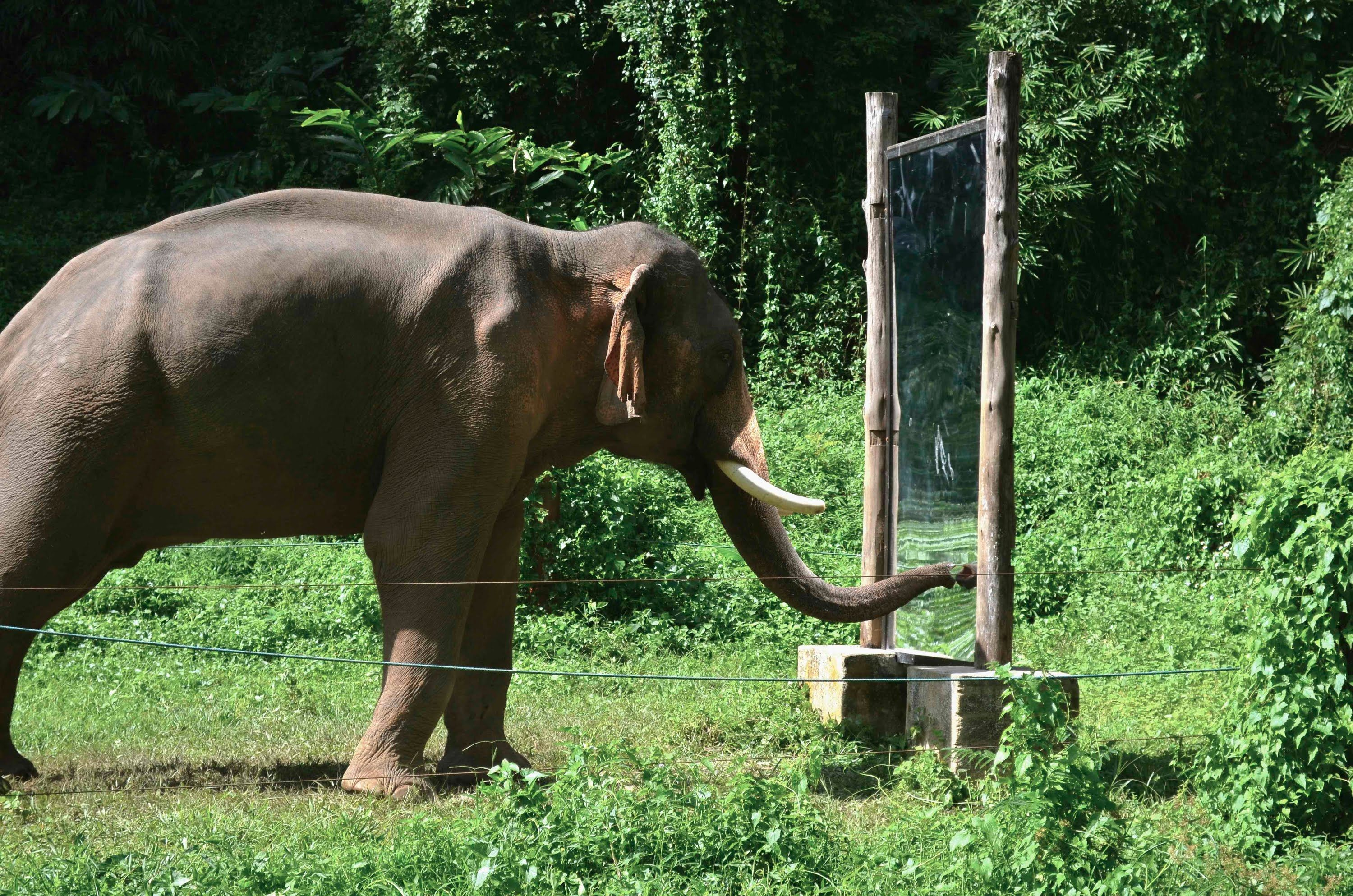 Mirror Self-Recognition in Asian Elephants
