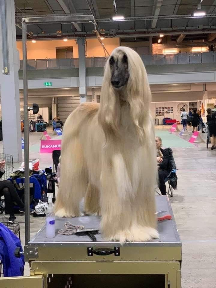 Pin By Susan On Afghan Hounds In 2020 Afghan Hound Dog Grooming
