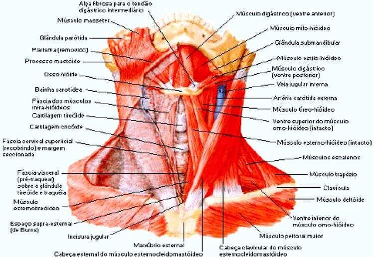 Sistema Muscular Músculos Do Pescoço Anatomia E Aula De