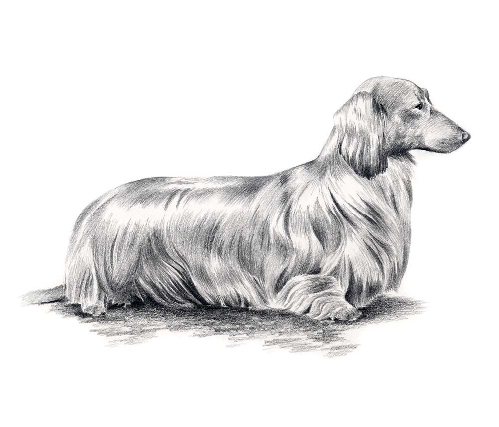Long Haired Dachshund Dog Pencil Drawing Art Print By Artist Dj