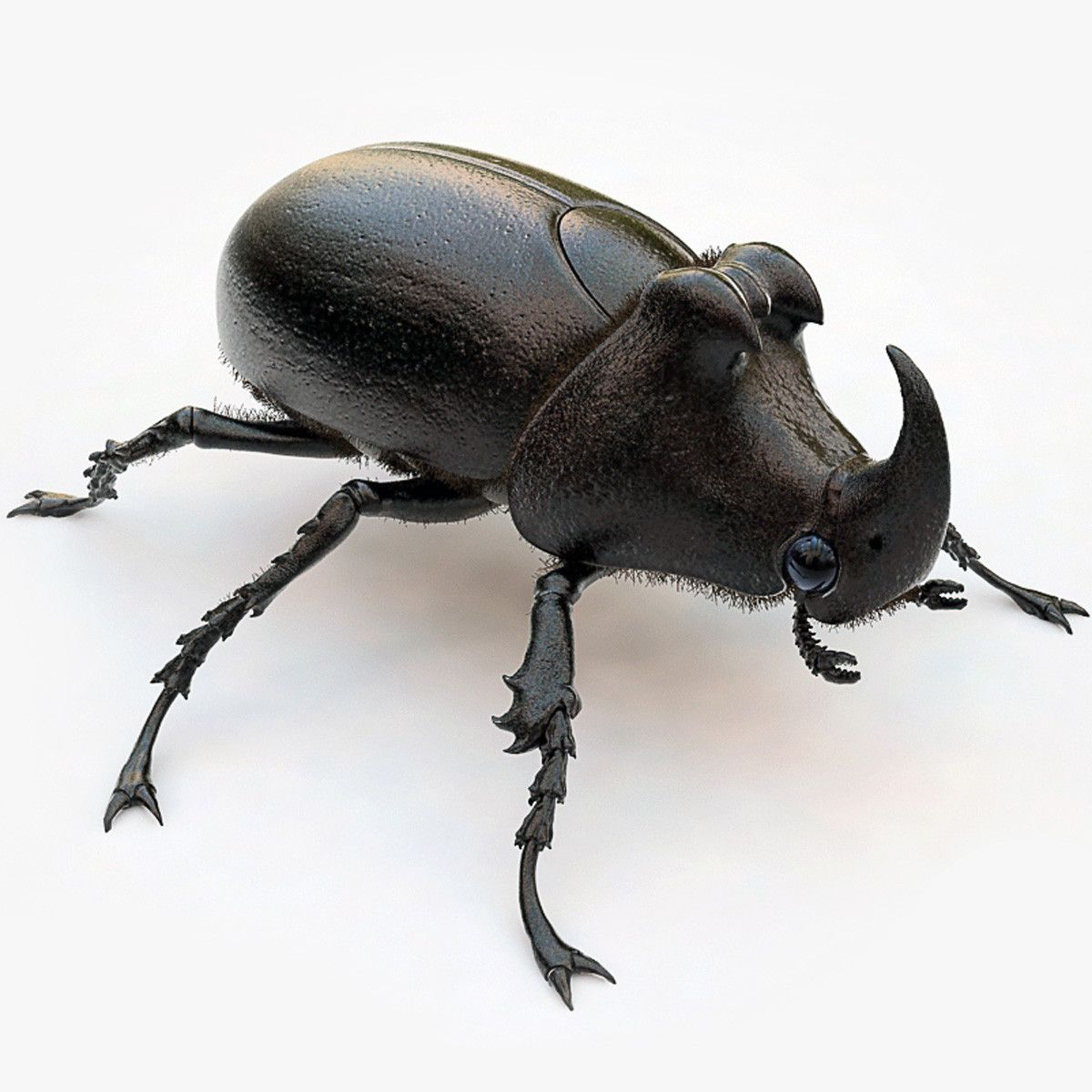 Rhinoceros beetle from all sides Поиск в Google Rhino