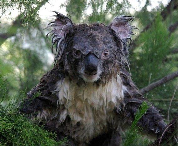 水に濡れたコアラ