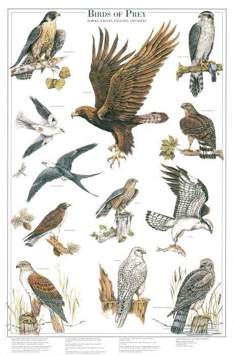 Birds of Prey: II Identification chart | Bird Identification Charts ...