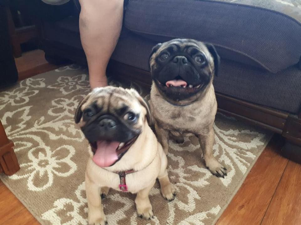 Not Just One But 2 Pug Smiling Do You Have What It Takes To Beat