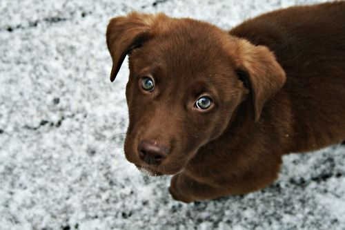 Green Eyed Chocolate Lab Puppy Chocolate Lab Puppies Lab Puppies Cute Puppies