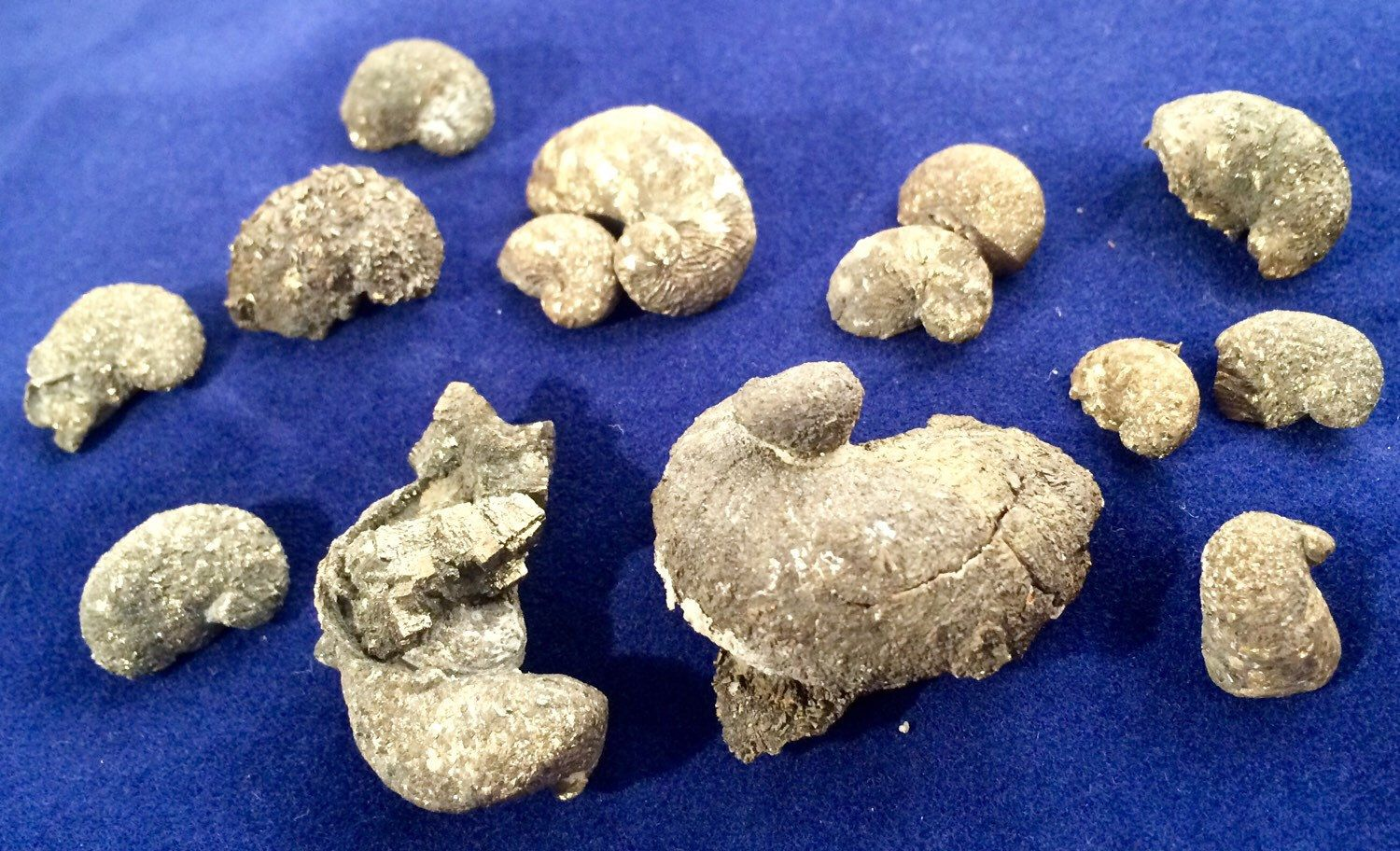Tumble Polished Ilymatogyra arietina Ram/'s Horn Oyster Fossils with pyrite dusting Lot of 12