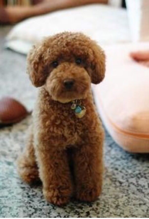 Pin On Miniature Poodle