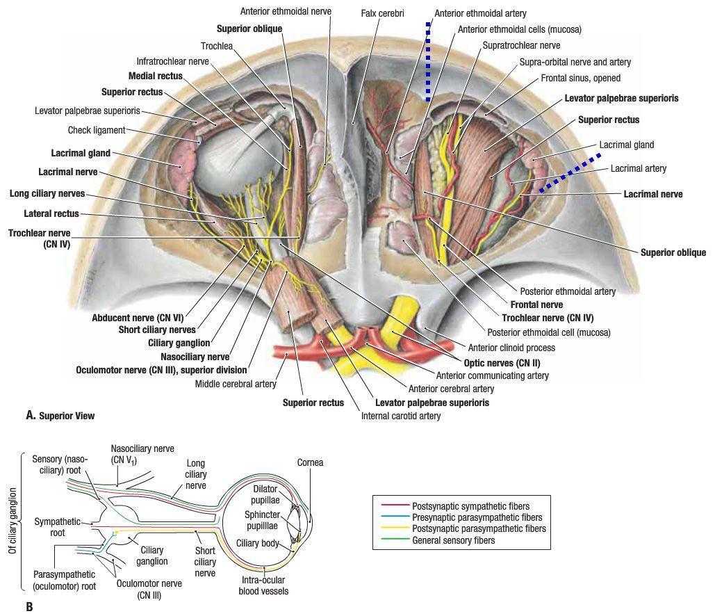 anatomy of the orbit - Google Search   Anaesthetics - Anatomy ...