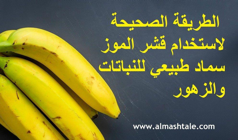 الموز فاكهة إستوائية محببة يقبل عليها الكثير من الناس وجرت العادة على أن نتخلص من قشور الثمرة بعد تناولها رغم أن معظم قشور الفاكهة تكو Banana Peel Banana Fruit