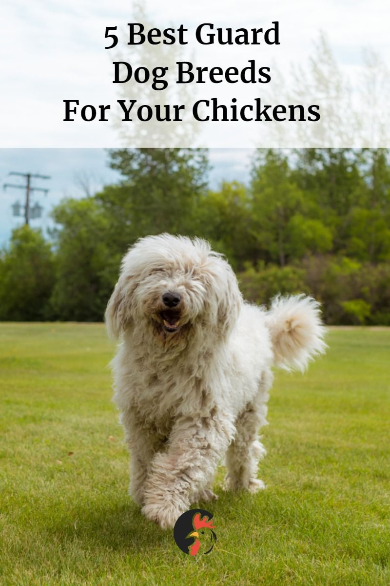 5 Best Guard Dog Breeds For Your Chickens Poultry Natural