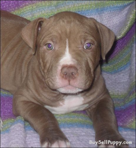 Red Nose Pitbull Puppies Red W Red Nose Pitbull Puppy In St