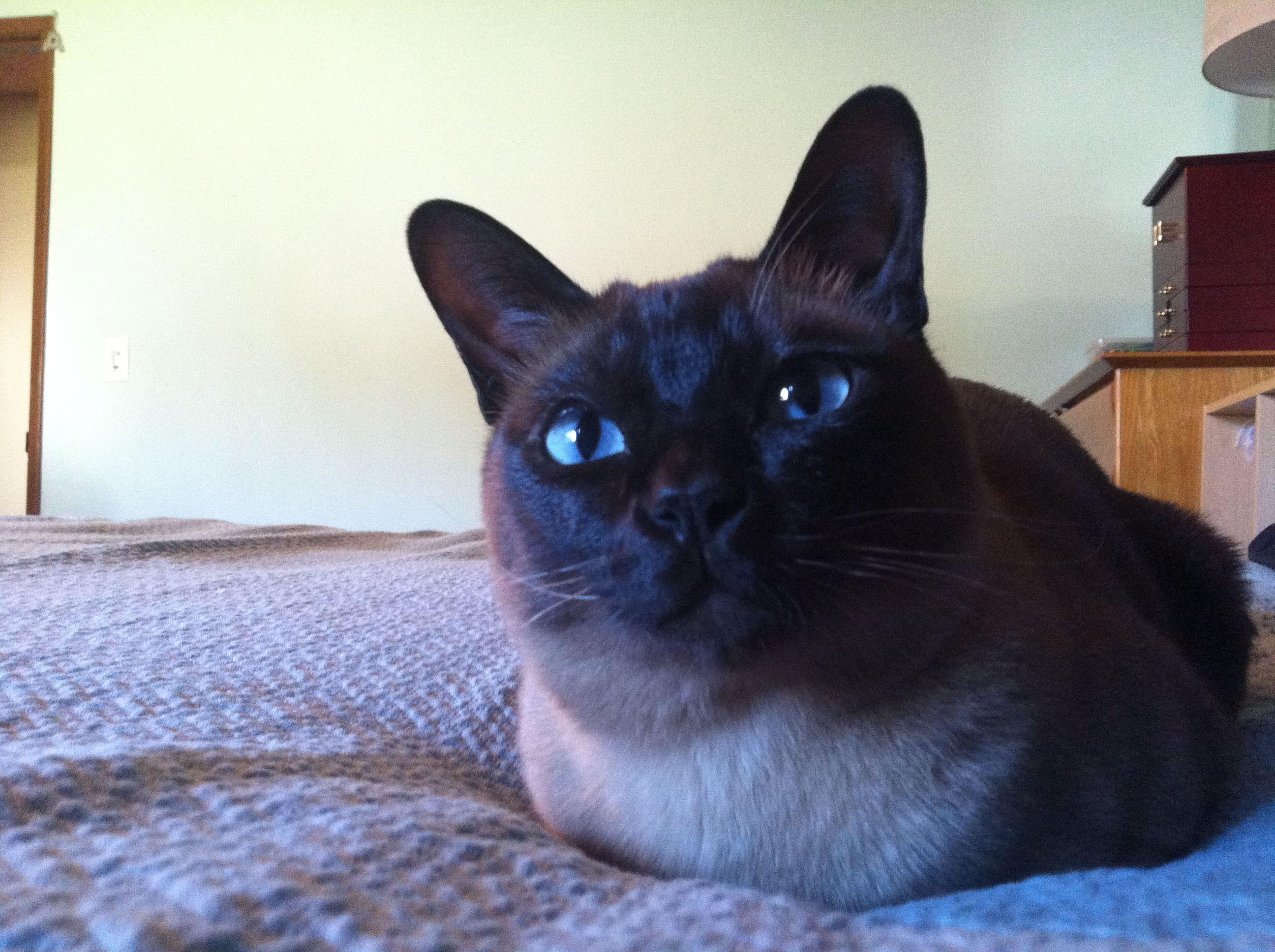 tonkinese Lando Tonkinese, Cute cats, Pets