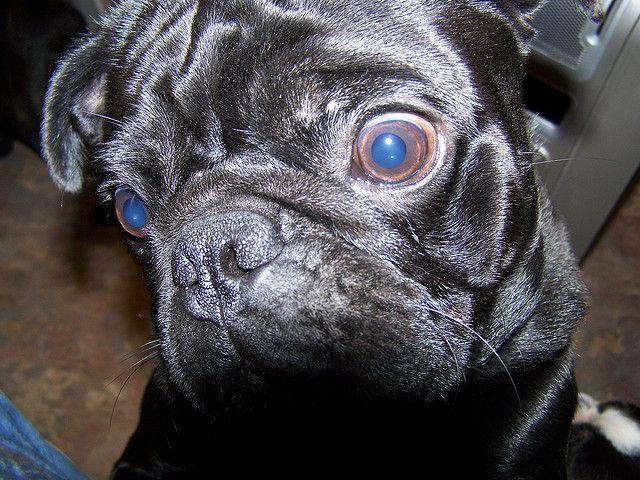 Harley Big Eyes Baby Black Pug Black Pug Pug Love