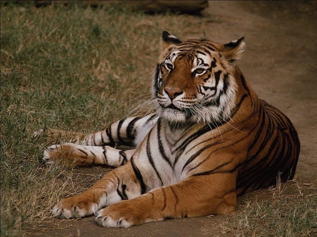 tiger lying down Google Search imagens) Animais