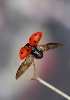 Amazing Shot Of A Ladybug Spreading Her Wings To Fly Kind