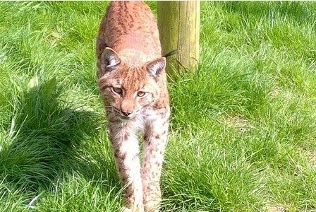 WBgdavies published Video: Dartmoor lynx disturbed traps set to catch it but still... https://t.co/eacVIxXVvo http://twitter.com/SmarterIncomes/status/751730466122665984