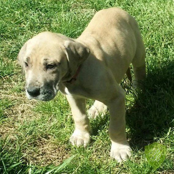 Puppies For Sale Washington Great Dane Puppies Dane Puppies