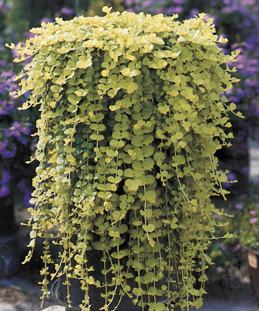 lysimachia nummularia goldilocks picture jardinieres pinterest jardini res bac et fleur. Black Bedroom Furniture Sets. Home Design Ideas