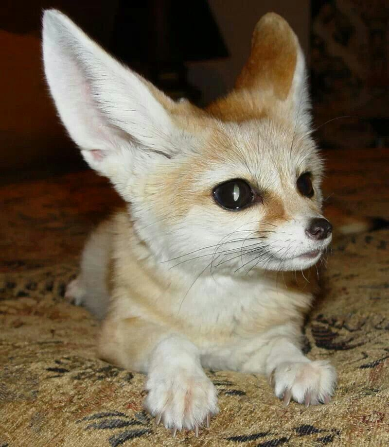 Fennec Fox Animals wild, Fenic fox, Cute animals