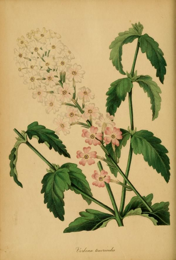 Paxton's Magazine of Botany and Register of Flo...