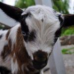 Goat Baby Photo Blast - Controlled Jibe