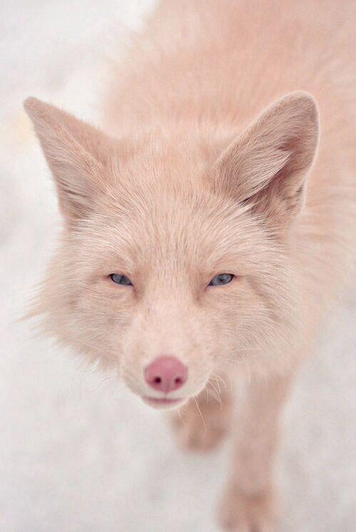 Pin By Drew Underwood On Animals Wild Canine 3 Rare Animals Pink Champagne Fox Animals