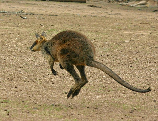 Wallaby | Flickr - Photo Sharing!