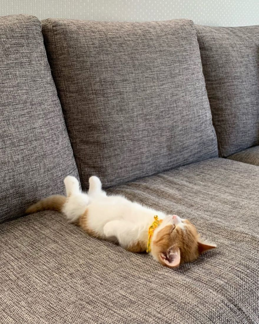 8 Pics Of Adorable Munchkin Kitten That Sleeps Like A Human Munchkin Kitten Sleeping Kitten Kittens Cutest