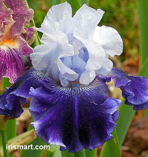 World Premier Tall Bearded Iris Iris Flowers Iris Garden Growing Irises